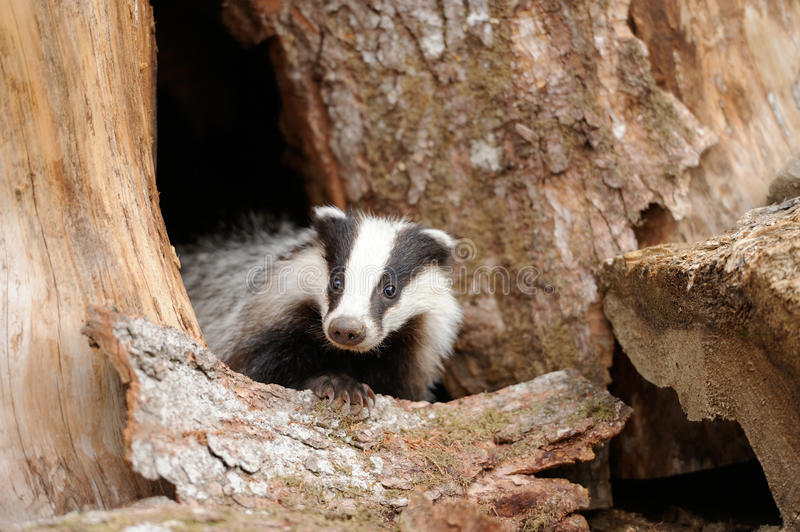 Badger. Near its burrow in the forest stock photography
