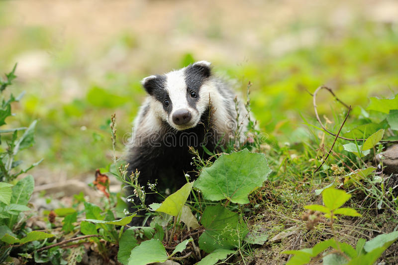Badger. Near its burrow in the forest stock image
