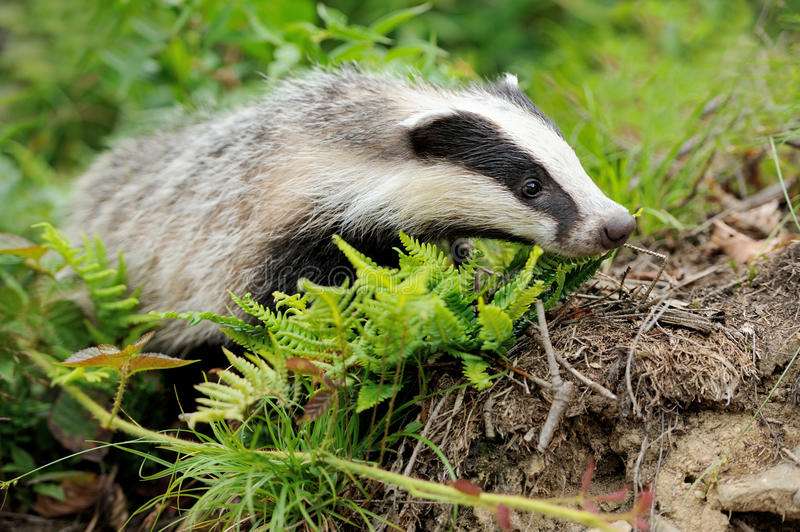 Badger. Near its burrow in the forest stock images