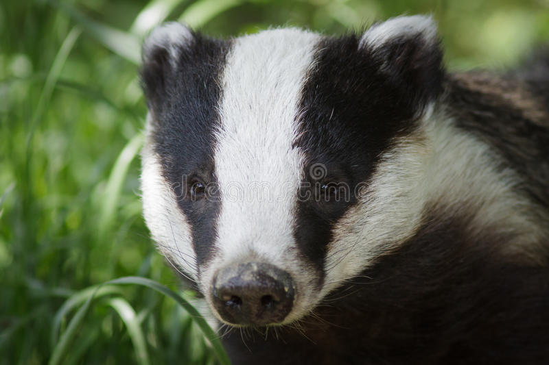 Badger. A Badger portrait looking staight forward, Grassy background royalty free stock photos