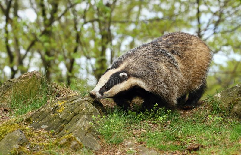Badger on rock. Beautiful mighty badger in spring royalty free stock photos