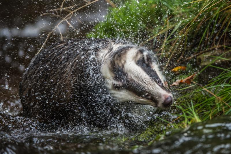 Badger in forest, animal in nature habitat, Germany, Europe. Wild Badger, Meles meles, animal in the wood. Mammal in environment,. A badger on it`s evening royalty free stock photography