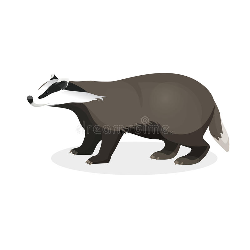 Badger on short legs in realistic style isolated on white. Background. Forest animal with black and whitey coat. Vector illustration of brock species of mammal stock illustration
