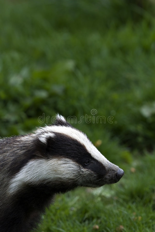 Badger sniffing stock photos