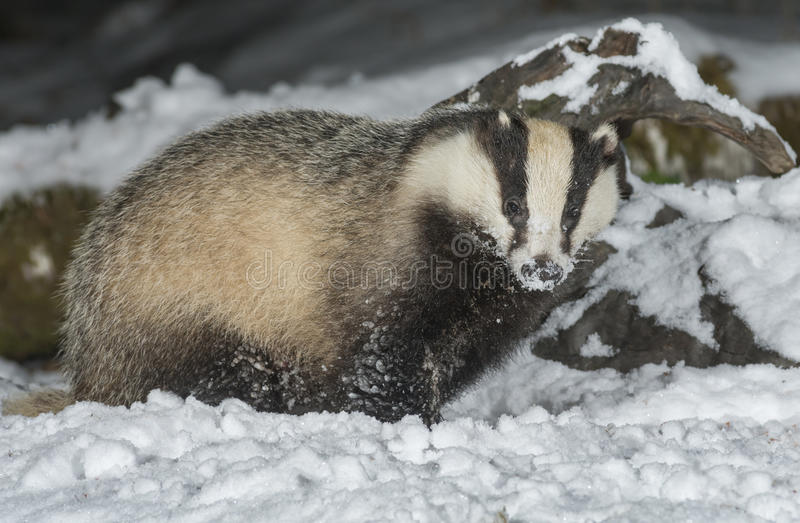 Badger in snow. Winter time in Scotland stock images