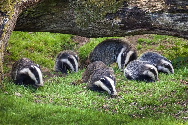 Badger sow and cubs. Family feeding in a woodland forest royalty free stock photo