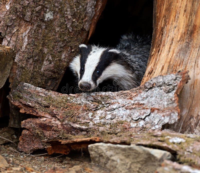 Badger. In their natural habitat royalty free stock photos