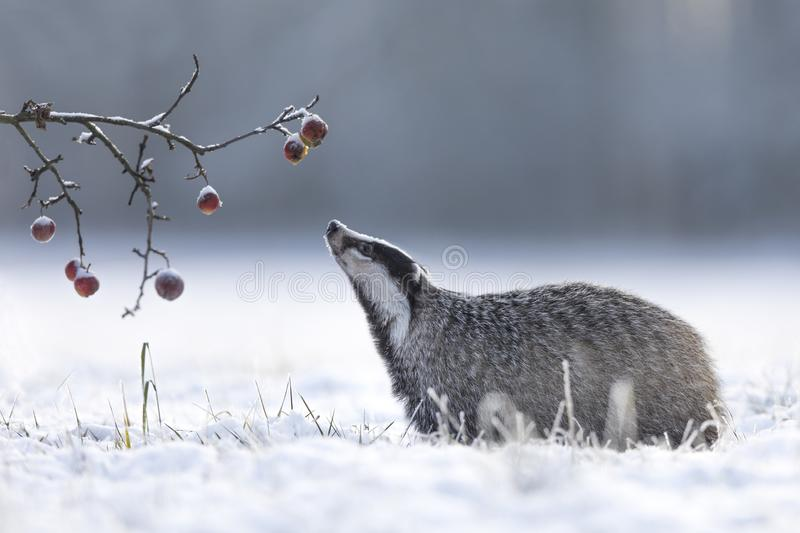 Badger in winter with apples. Cute young badger in winter is looking for food to eat and he found a tree with left apples stock image