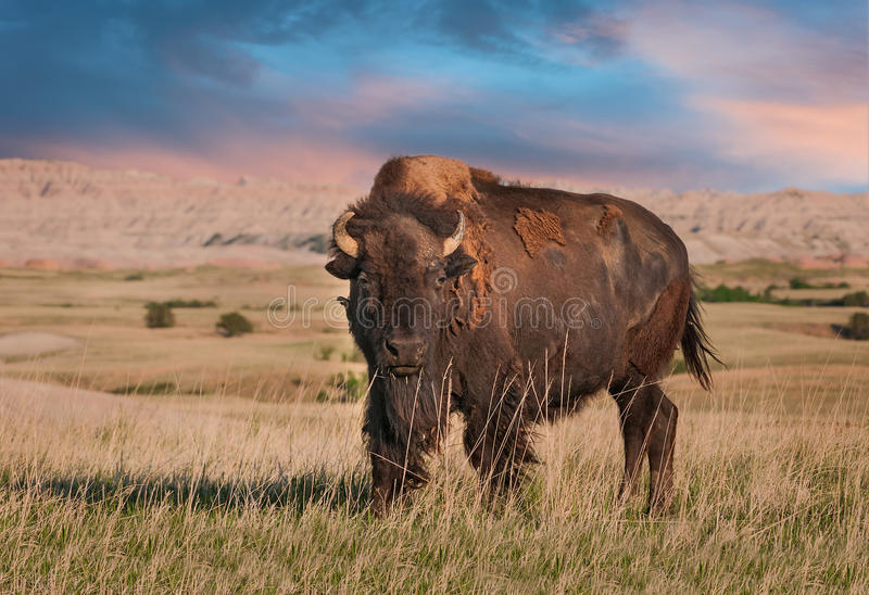 Badlands American Bison Bull. (Bison bison royalty free stock photo