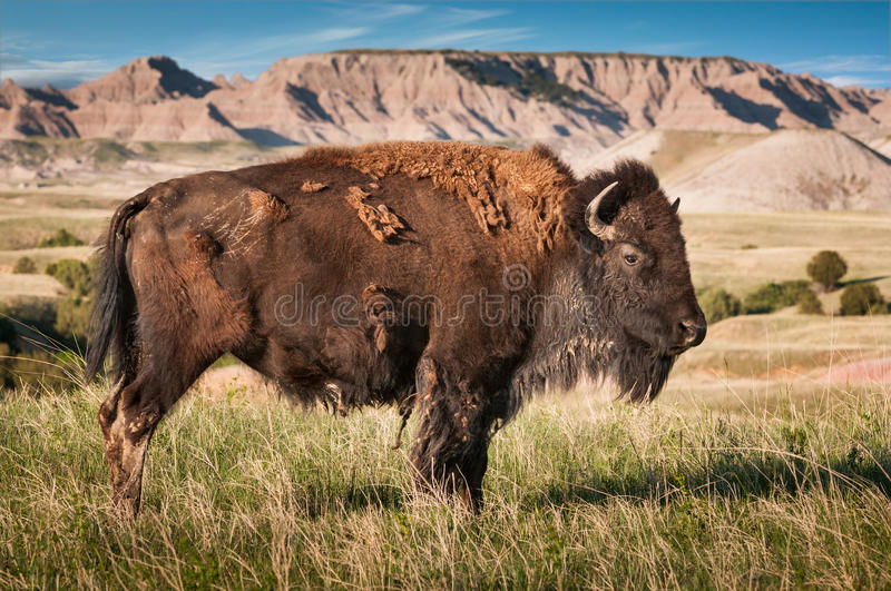 Badlands American Bison Bull (Bison bison). American Bison Bull (Bison bison) in Badlands of South Dakota - wild facing right stock image