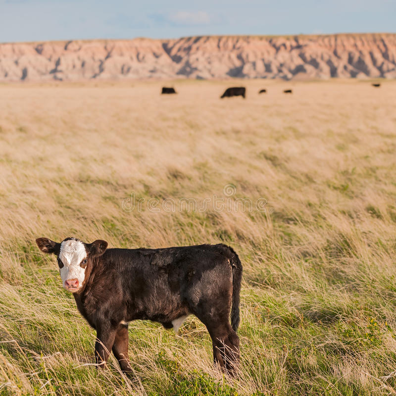Badlands Calf. Free range beef cattle (calf) in the Badlands of South Dakota royalty free stock photography
