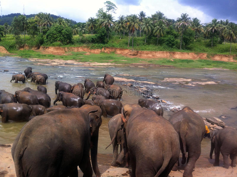 Badningelefanter royaltyfri fotografi