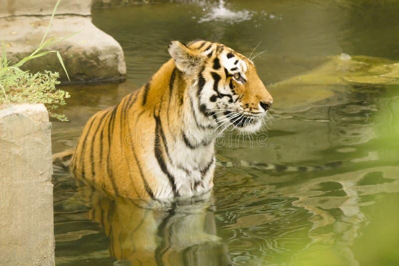Badtid för en tiger royaltyfri foto