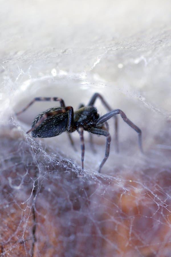 badumna他的insignis蜘蛛网 免版税库存照片