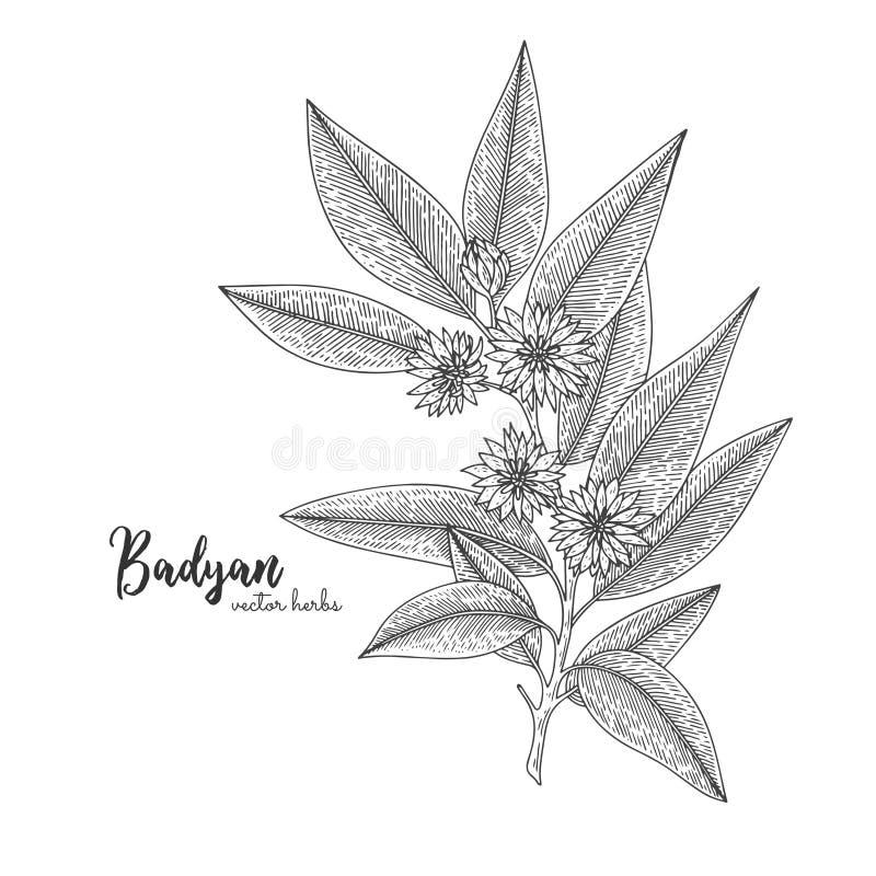 Badyan op witte achtergrond wordt geïsoleerd die Kruiden gegraveerde stijlillustratie Gedetailleerde biologisch productschets Bot royalty-vrije illustratie