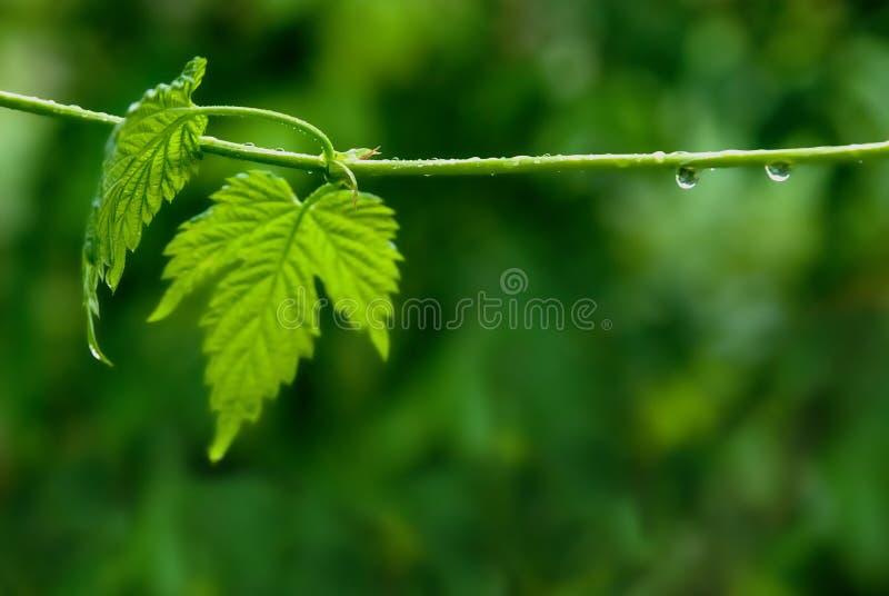Badyl i liście podskakujemy z podeszczowymi kroplami przeciw tłu zielone rośliny fotografia stock