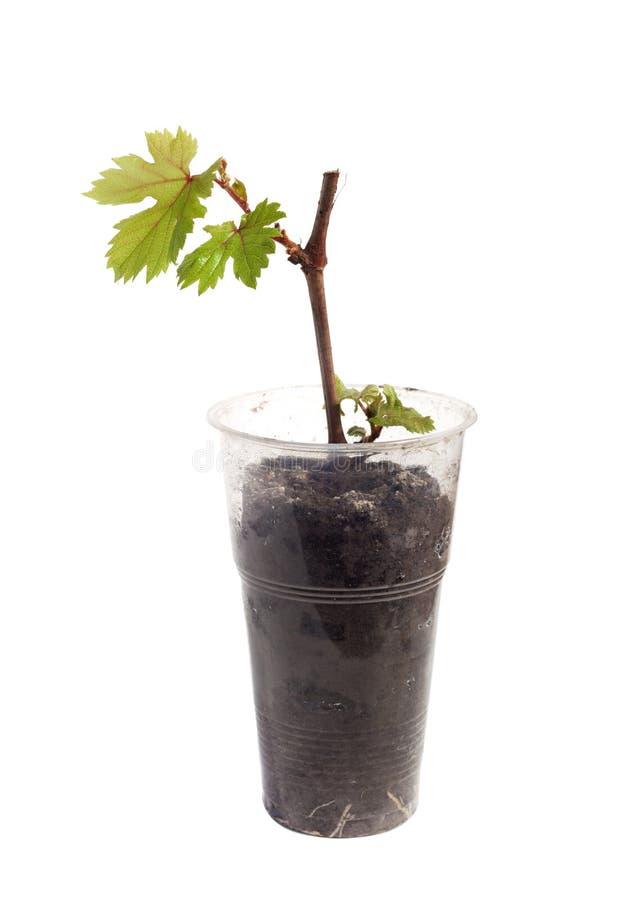 Badyl winogrona w szkle odizolowywającym obraz royalty free