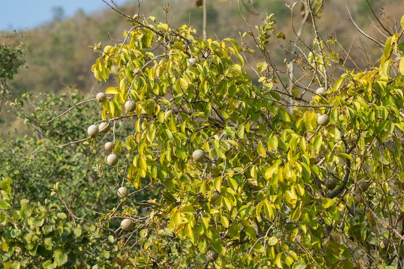 Bael Aegle marmelos Tree and Fruit royalty free stock image