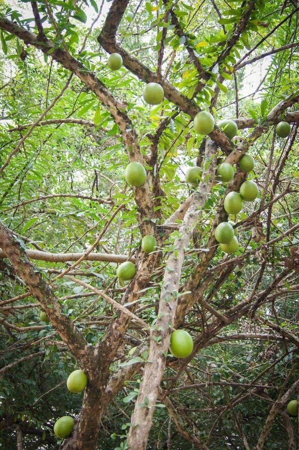 Bael frukt fotografering för bildbyråer