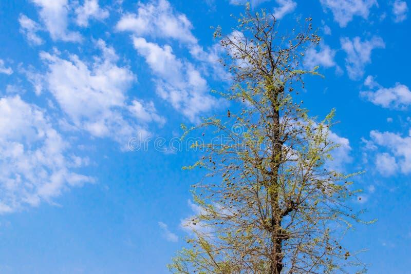 Bael, ou árvore de fruto de madeira da maçã fotos de stock royalty free