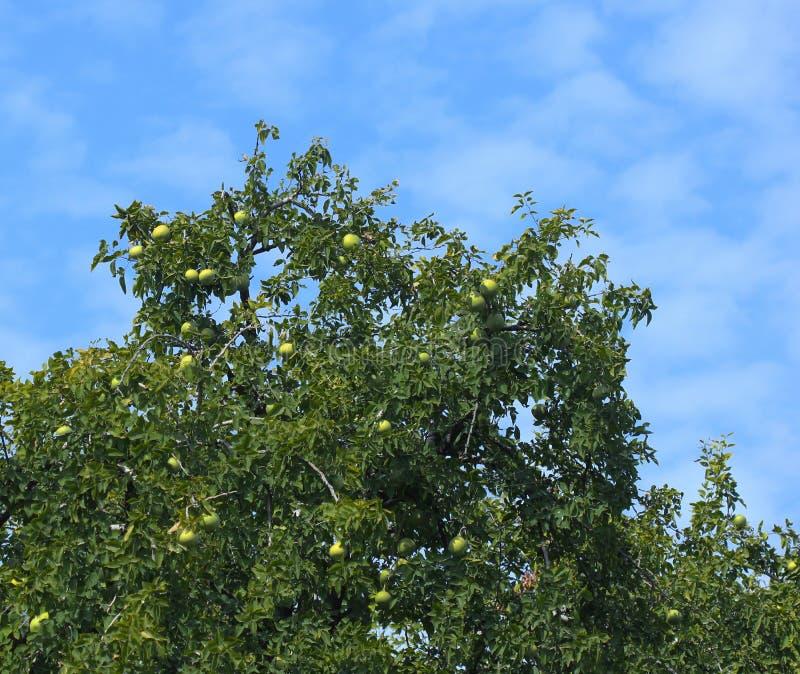 Bael träd med frukter royaltyfri foto