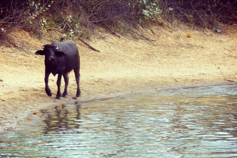 Bafflow die zich rond het water in woestijn bewegen royalty-vrije stock foto's