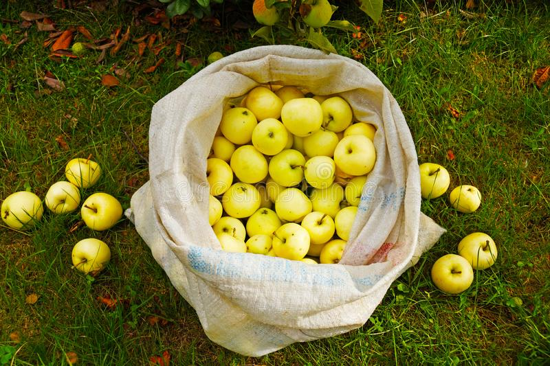 A bag full of early ripening apples, Yellow Transparent. royalty free stock photography