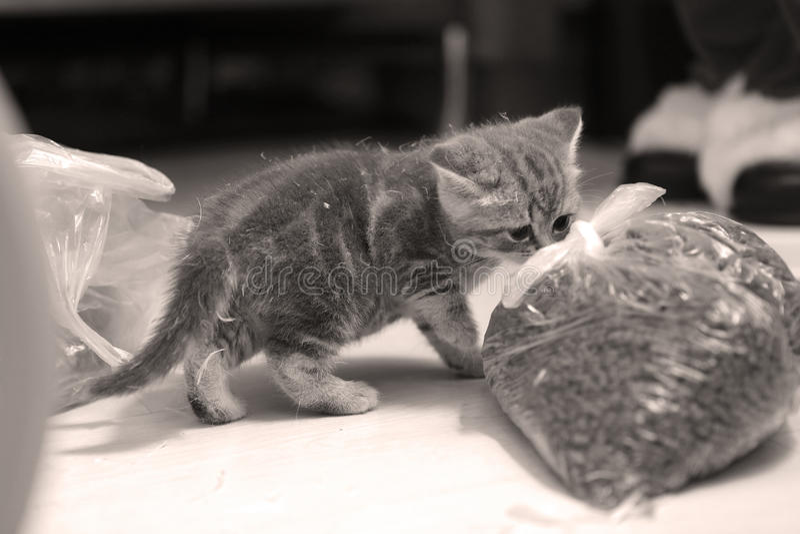 Bag of pet food. Small kitten near a bag of pet food stock image