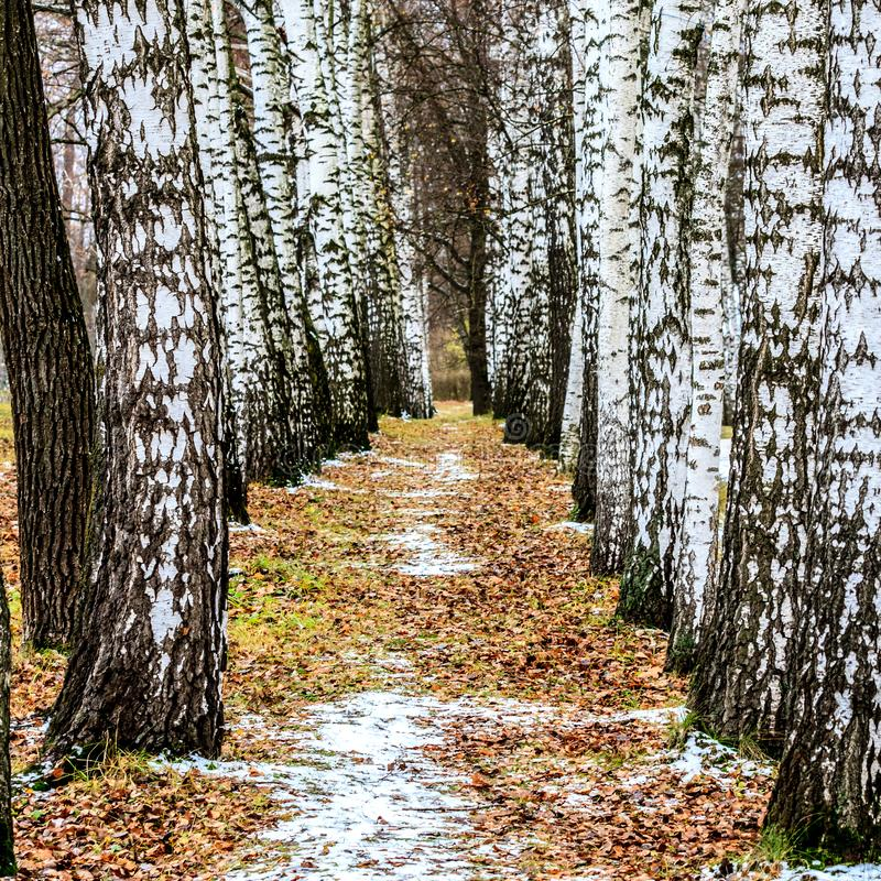 Bagażniki brzozy w jesień lesie obrazy stock