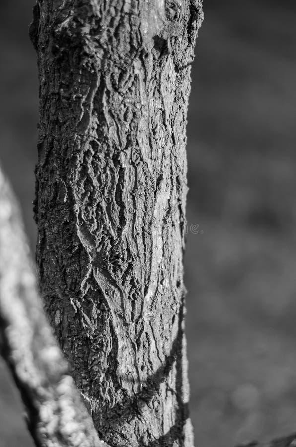 Bagażnik dorosły drzewo Bez liści i gałąź Tekstura barkentyna Pionowo układ opcja Monochromatyczna Miękka ostrość zdjęcia royalty free