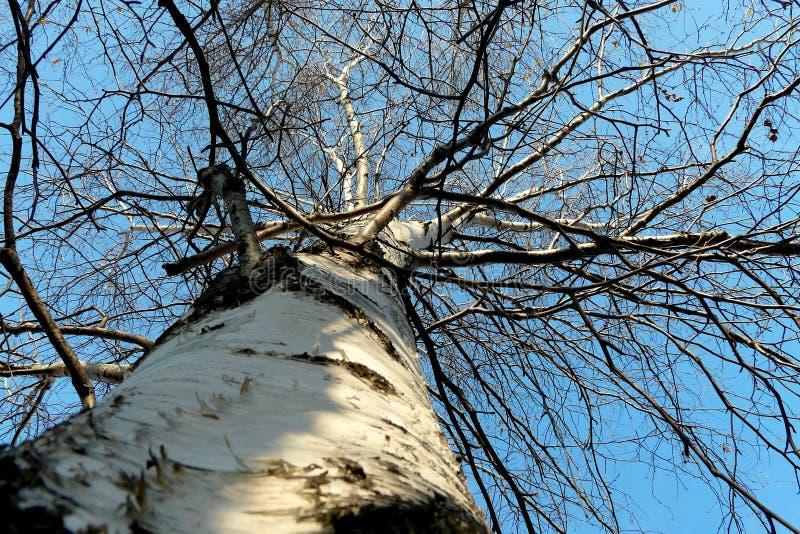 Bagażnik i gałąź brzoza przeciw niebieskiemu niebu w zimie zdjęcia royalty free