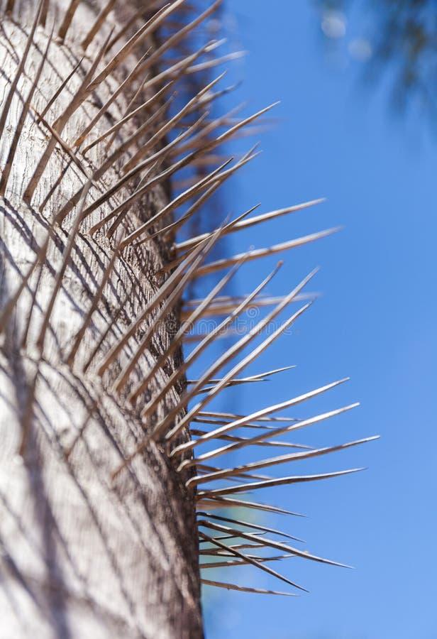 Bagażnik spiny drzewko palmowe Zakończenie w górę koloru wizerunku kolce przeciw niebieskiemu niebu obraz stock