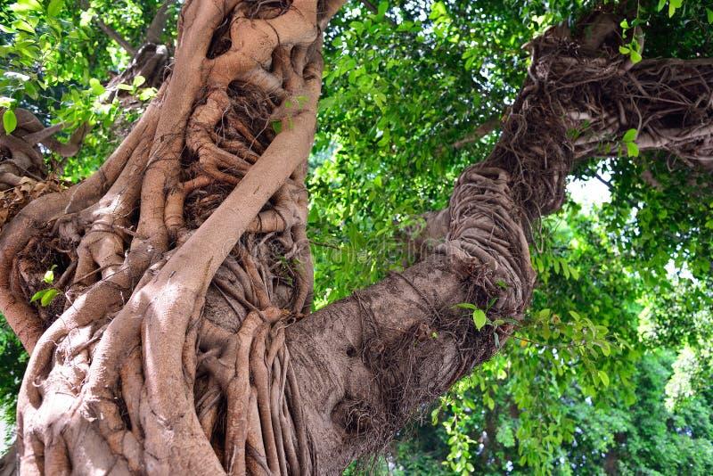 Bagażnik wielki Ficus drzewo Egzotyczna południowa roślina zdjęcie stock