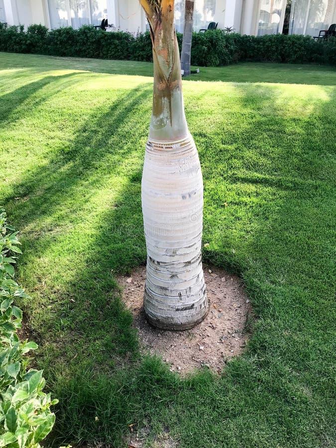 Bagażnika biały brown drewno, korowaty kokosowej palmy tropikalny egzotyczny piękny świeży naturalny żyje rzeźbiący jaskrawy unik zdjęcie stock