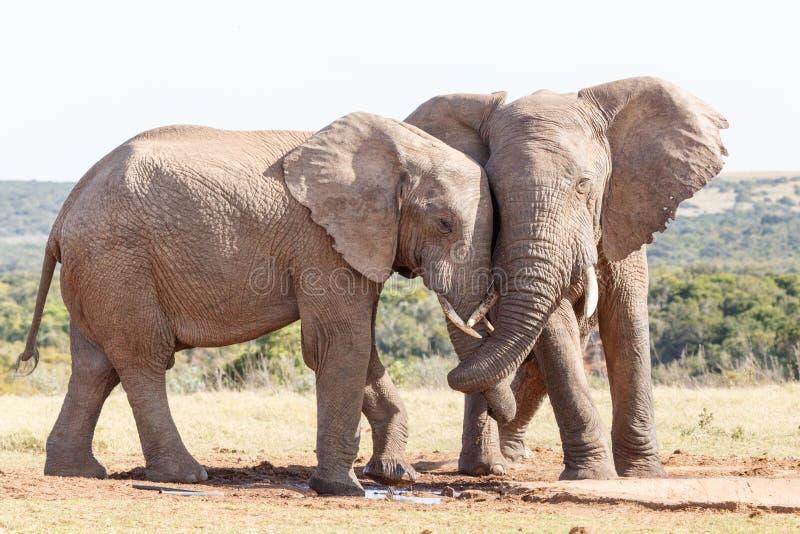 Bagażnika skręt - afrykanina Bush słoń obraz royalty free