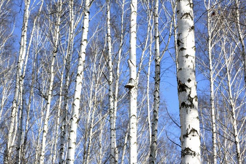 Bagażniki białe brzozy przeciw niebieskiemu niebu zdjęcie royalty free