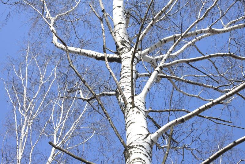 Bagażniki białe brzozy przeciw niebieskiemu niebu fotografia royalty free