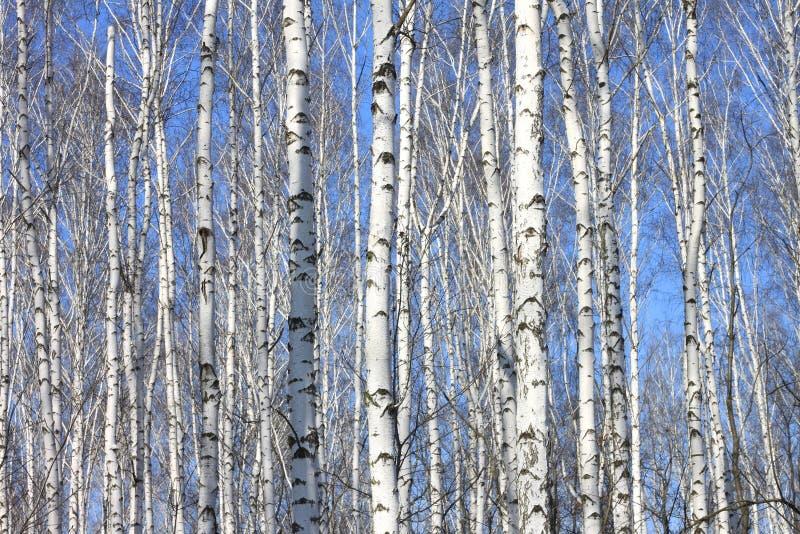 Bagażniki białe brzozy przeciw niebieskiemu niebu obrazy royalty free