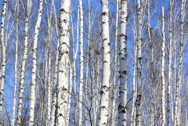 Bagażniki białe brzozy przeciw niebieskiemu niebu fotografia stock