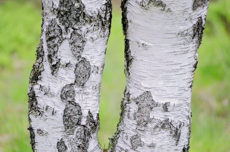 Bagażniki brzozy na jaskrawym - zielony tło zdjęcia stock