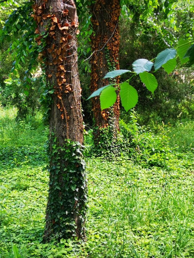 Bagażniki drzewa zakrywający z bluszczem obrazy royalty free