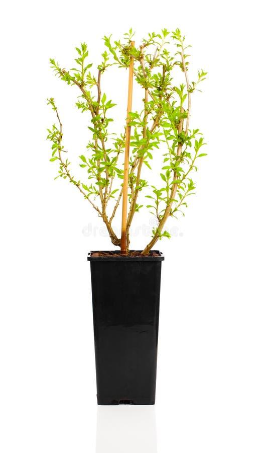 Baga de Goji das plântulas da planta nova ou barbarum do Lycium fotografia de stock