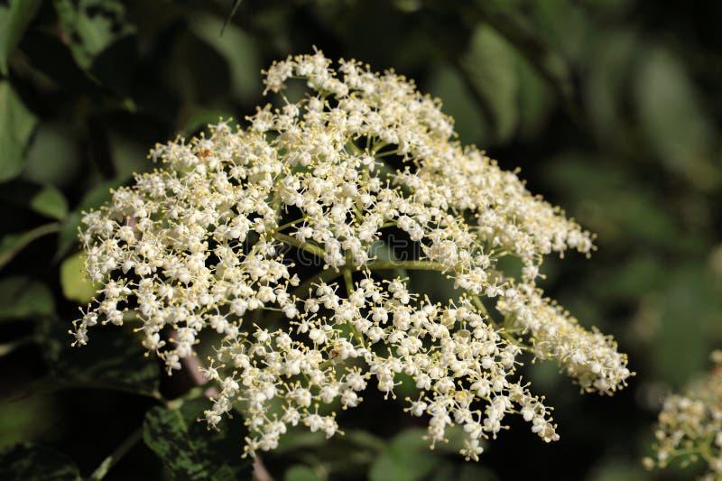 A baga de sabugueiro preta floresce (o negro do Sambucus) imagem de stock