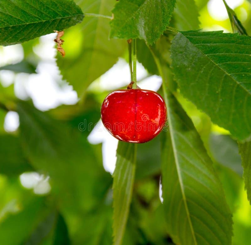 Baga madura da cereja em um ramo de árvore imagem de stock