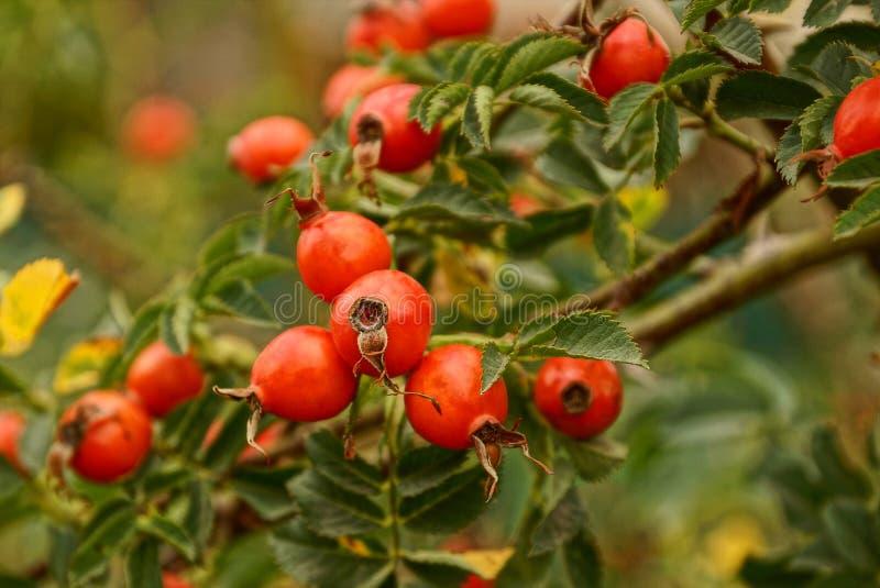 Baga vermelha de um dogrose em um ramo com folhas verdes imagem de stock royalty free