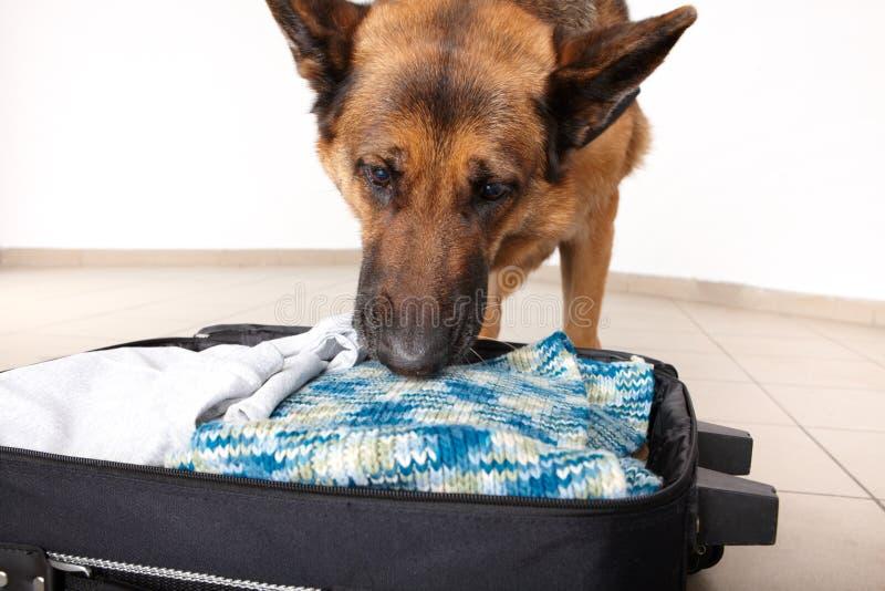 Bagagem chceking do cão Sniffing fotos de stock royalty free