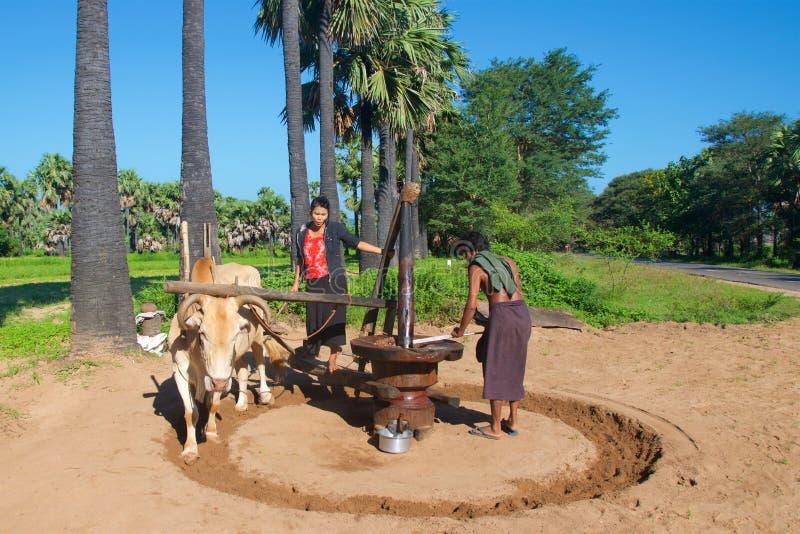Bagan,缅甸- 2015年10月:研棕榈糖的民工用一个手工方法 库存图片