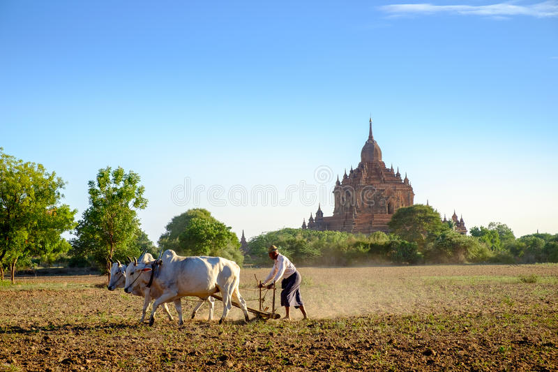 Bagan,缅甸- 2015年7月1日, :农夫在与co的领域工作 库存图片