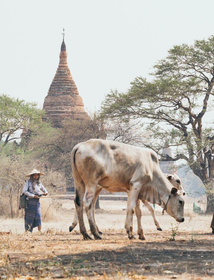Bagan, Мьянма - март 2019: Чабан пася сухопарую корову через сухое поле с висками и пагодами старого Bagan стоковое фото rf