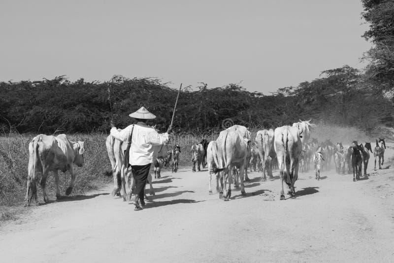 Bagan Myanmar, December 28 2017: En flock av kor är drivande på en dammig väg arkivfoton